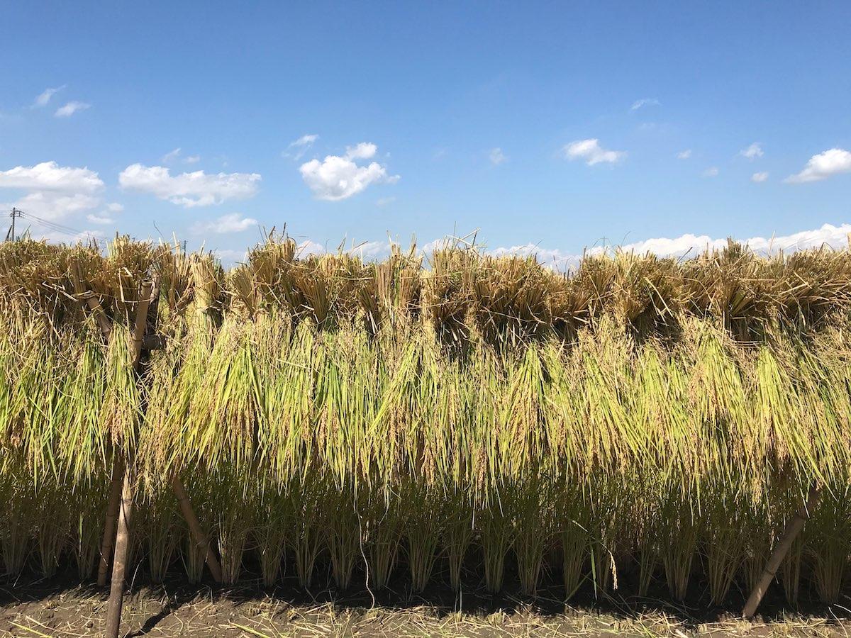 【稲刈りを体験した感想】不耕起自然栽培の藤崎農場のむかしの田んぼ